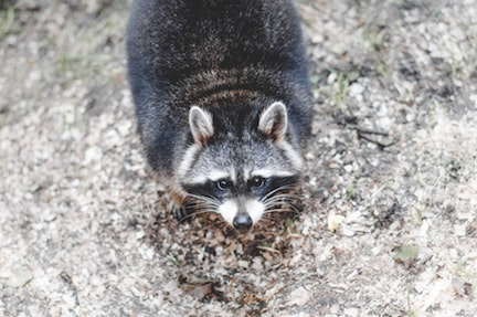 animal-raccoon-whiskers-16605